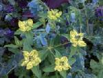 Euphorbia elongata and Cerinthe
